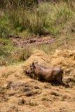 Wrattenzwijn die Hooi eten tijdens Droogte in Mlilwane-Wildreservaat, Swasiland Stock Afbeeldingen