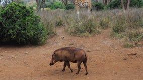 Wrattenzwijn die Neus zoeken om Voedsel in de Dusty Red Earth In Africa-Reserve te ruiken stock videobeelden