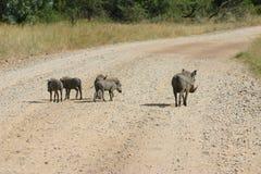 Wrattenzwijn en babys Royalty-vrije Stock Afbeeldingen