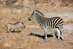 Wrattenzwijn en zebra Royalty-vrije Stock Fotografie