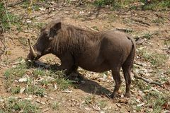 Wrattenzwijn in het Nationale Park van Kruger royalty-vrije stock afbeelding