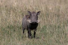 Wrattenzwijn, Kenia, Afrika royalty-vrije stock foto