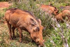 Wrattenzwijn in Kenia royalty-vrije stock foto's