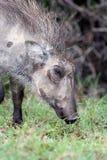 Wrattenzwijn, kereltje stock foto