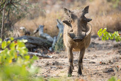 Wrattenzwijn met één gebroken tanden die onder kort gras lopen Royalty-vrije Stock Foto