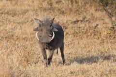 Wrattenzwijn met grote tanden die onder kort gras lopen Royalty-vrije Stock Afbeeldingen