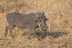 Wrattenzwijn met grote tanden die onder kort gras lopen Royalty-vrije Stock Fotografie