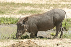 Wrattenzwijn in Moremi-spelreserve stock foto's