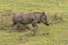 Wrattenzwijn op gras Stock Afbeeldingen