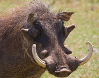 Wrattenzwijn oud met grote tanden Stock Afbeelding