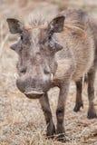 Wrattenzwijn - Phacochoerus Royalty-vrije Stock Foto's