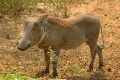 Wrattenzwijn (Phacochoerus) royalty-vrije stock foto's