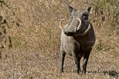Wrattenzwijn (Phacochoerus-africanus) royalty-vrije stock afbeelding