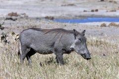 Wrattenzwijn - Phacochoerus africanus- Botswana Stock Foto's