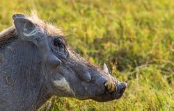 Wrattenzwijn in savana Royalty-vrije Stock Afbeeldingen