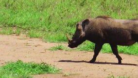 Wrattenzwijn van het Serengeti het Nationale Park stock videobeelden