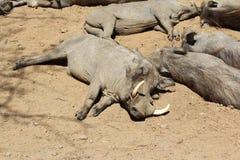 Wrattenzwijn, Wild Dier, het Wildaard Royalty-vrije Stock Afbeelding