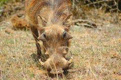 Wrattenzwijn in Zuid-Afrika royalty-vrije stock fotografie