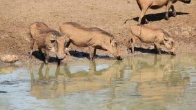 Wrattenzwijnen bij waterhole stock footage