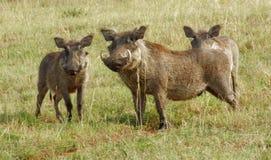 Wrattenzwijnen in Oeganda stock afbeeldingen