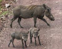Wrattenzwijnenfamilie op de weg royalty-vrije stock foto