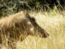 Wrattenzwijnmannetje in weide stock afbeeldingen