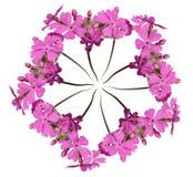Wreath aus rosafarbenem Primula heraus Stockbilder