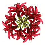 Wreath aus roter Lilie heraus Stockbild