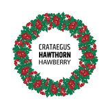 Wreath of autumn hawthorn berries. Crataegus or haw ornament. Illustration Stock Illustration