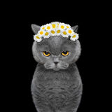 Wreath of chamomile flowers on the head of a cat. Isolated on black background stock images