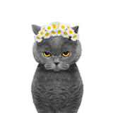 Wreath of chamomile flowers on the head of a cat. Isolated on white background royalty free stock photo