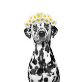 Wreath of chamomile flowers on the head of a dog. Isolated on white background Stock Images