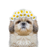 Wreath of chamomile flowers on the head of a dog. Isolated on white background royalty free stock photos