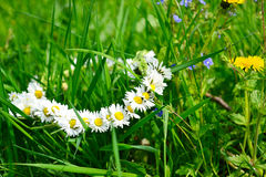 Wreath of chamomiles in green grass.selective focus. Wreath of chamomiles in green grass Stock Photos
