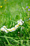 Wreath of chamomiles in green grass.selective focus. Wreath of chamomiles in green grass Royalty Free Stock Images
