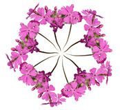 Wreath out of pink primula. Isolated on white Stock Images