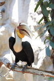 Wreathed Hornbill Royalty Free Stock Images