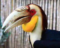 Wreathed Hornbill. Portrait of yellow wreathed Hornbill (Rangkong bird) from Borneo island Stock Image