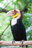 Wreathed Hornbill Royalty Free Stock Image