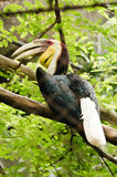 Wreathed Hornbill (Aceros Undulatus). In the zoo Royalty Free Stock Photography