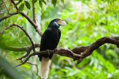 Wreathed Hornbill (Bar-pouched). Bird on tree usually fine in Thailand and Malaysia Royalty Free Stock Image
