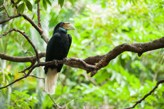 Wreathed Hornbill (Bar-pouched). Bird on tree usually fine in Thailand and Malaysia Stock Photography