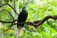 Wreathed Hornbill (Bar-pouched). Bird on tree usually fine in Thailand and Malaysia Stock Images
