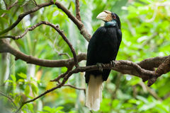 Wreathed Hornbill (Bar-pouched). Bird on tree usually fine in Thailand and Malaysia Stock Photos
