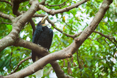 Wreathed Hornbill (Bar-pouched). Bird on tree usually fine in Thailand and Malaysia Royalty Free Stock Photos