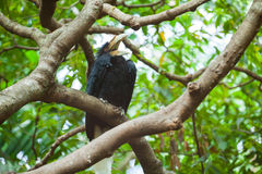 Wreathed Hornbill (Bar-pouched). Bird on tree usually fine in Thailand and Malaysia Royalty Free Stock Images