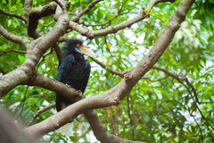 Wreathed Hornbill (Bar-pouched) Royalty Free Stock Photo