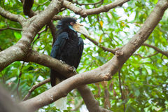 Wreathed Hornbill (Bar-pouched). Bird on tree usually fine in Thailand and Malaysia Royalty Free Stock Photo