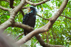 Wreathed Hornbill (Bar-pouched). Bird on tree usually fine in Thailand and Malaysia Royalty Free Stock Photography