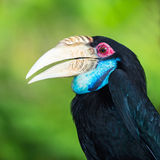 Wreathed Hornbill. Bar-pouched  Rhyticeros undulatus Female Stock Image